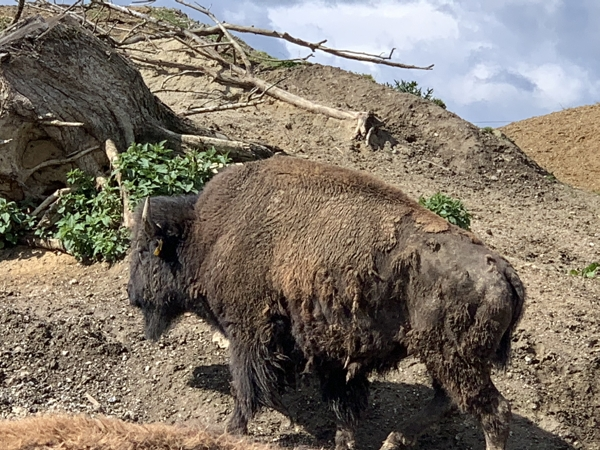 Bullero Ranch Bison